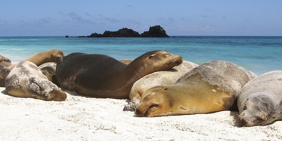 Galapagos Sea Wolves sleeping on the beach