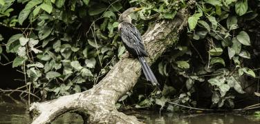 Ecuador Amazon River Bird