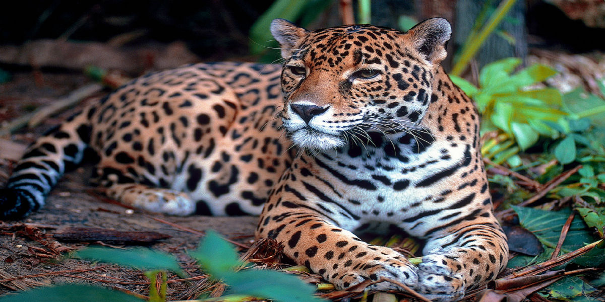 French Guiana - Cayenne Hotels - Grand Hotel Montabo - Jaguar Resting