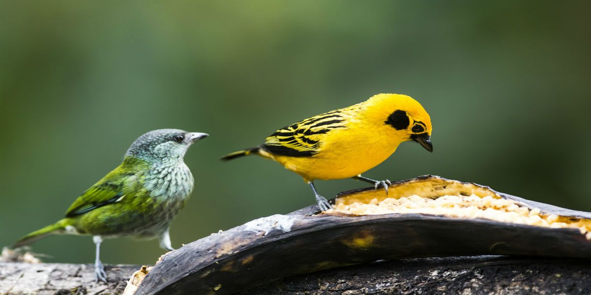 colombia-birding-tour-yellow-bird